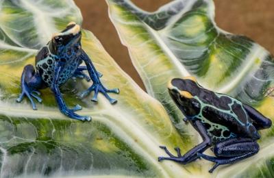 Surinam Cobalt sexed pair