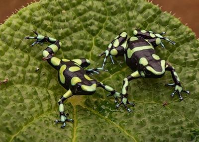 Capurgana D. auratus pair