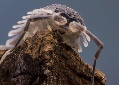 Porcellio hoffmannseggi Giant Isopods (10)