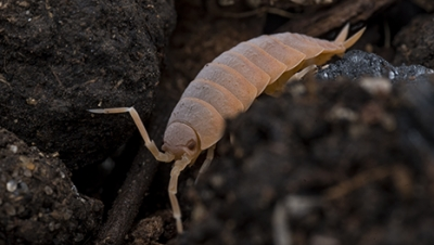 Powder Orange Isopods