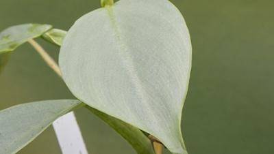 Philodendron chinchamayense cutting