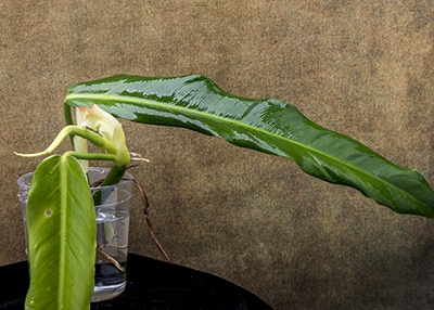 "Philodendron ""Columbia Narrow Leaf"""