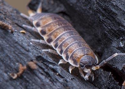 """Philoscia sp """"Thai Tiger"""" Isopods (10)"""