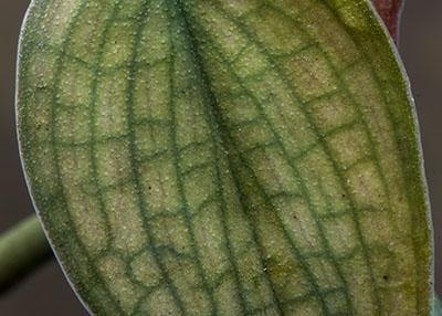 "Philodendron Burle Marx's ""Fantasy"""