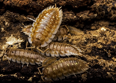 "Oniscus asellus ""Maple B.C."" Isopod (10)"