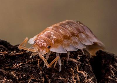 "Oniscus asellus ""B.C. Maple"" Isopod (10)"