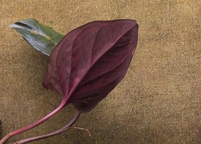 Syngonium erythrophyllum cutting