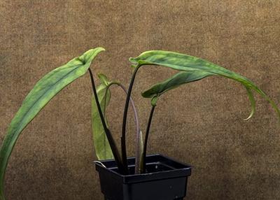 "Syngonium ""Lance Leaf"""