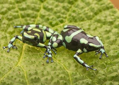 Costa Rican D. auratus pair