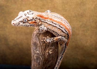 Male Orange Stripe Gargoyle 30g G8