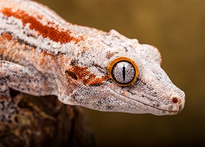 Male Orange Stripe Gargoyle 30g G14